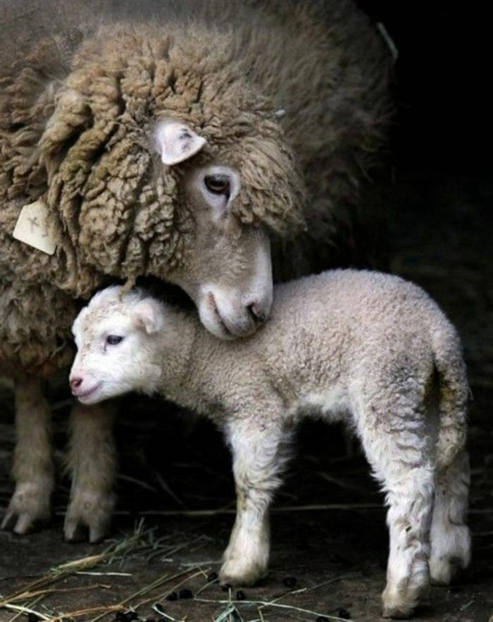 Schaf und Lamm, Mutter und Baby, die süßesten Tierbabys der Welt- zahlreiche Bilder