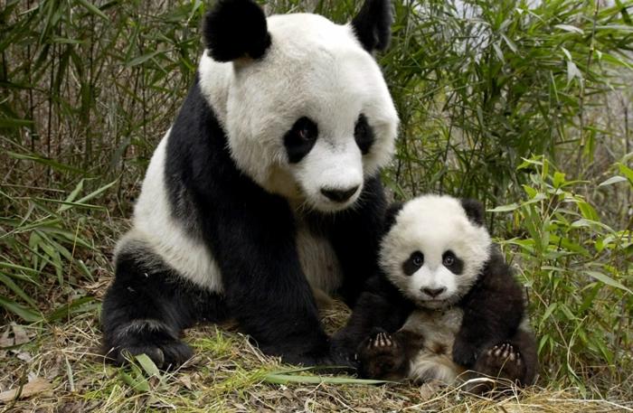 Mutter und Baby Pandas, die Mutterliebe im Tierreich- schöne Bilder und interessante Fakten
