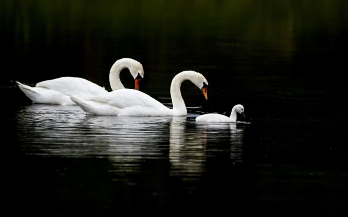 wunderschöne Schwanenfamilie, Mutter, Vater und Baby, die schönsten Tiere der Welt