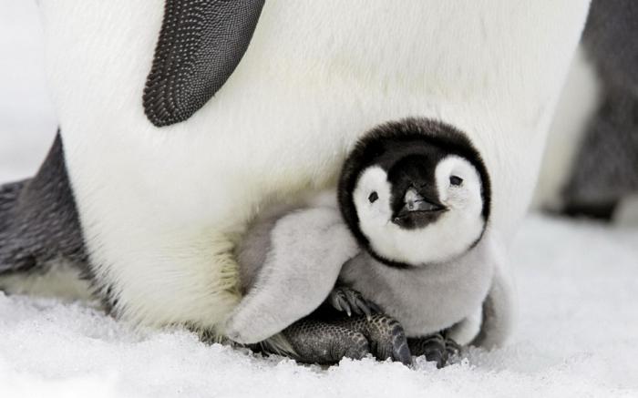 die süßesten Tierbabys der Welt, niedlicher Baby-Pinguin mit seiner Mutter, Liebe im Tierreich