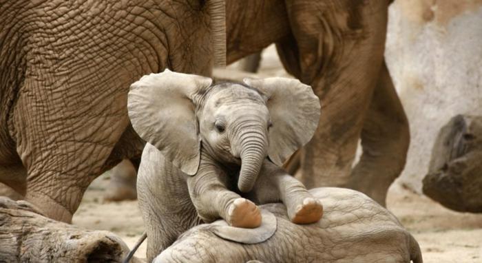 süßer Baby Elefant, die niedlichsten Tiere der Welt, fantastische Bilder und interessante Fakten