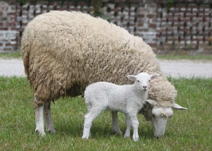 kleines Lamm und Schaf, Kind und Mutter, Bilder von den süßesten Tierbabys der Welt
