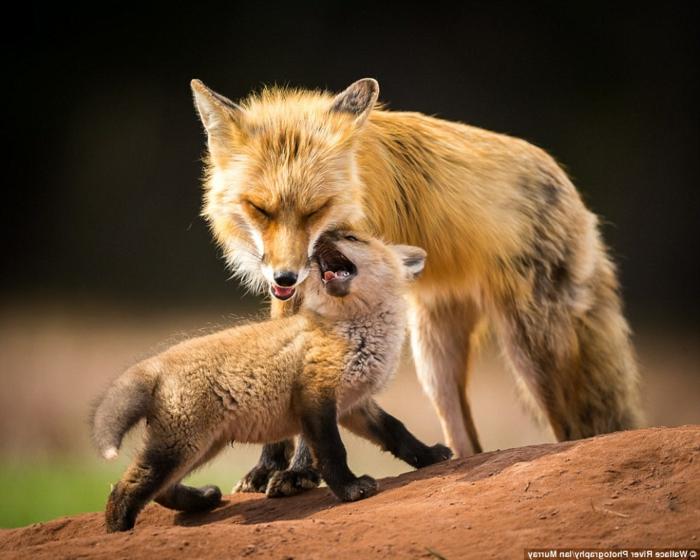 Mutter und Kind Füchse, die Tierwelt näher kennenlernen, süße Tierbabys und ihre Eltern