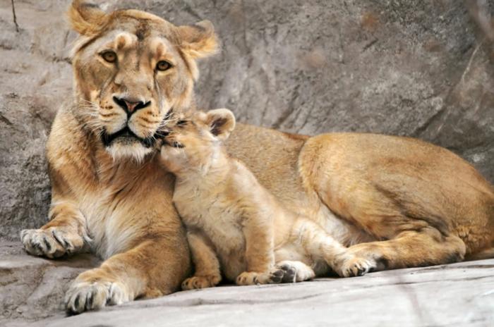 Löwin und ihr Baby, die Mutterliebe im Tierreich, fantastische Bilder, in die Tierwelt eintauchen