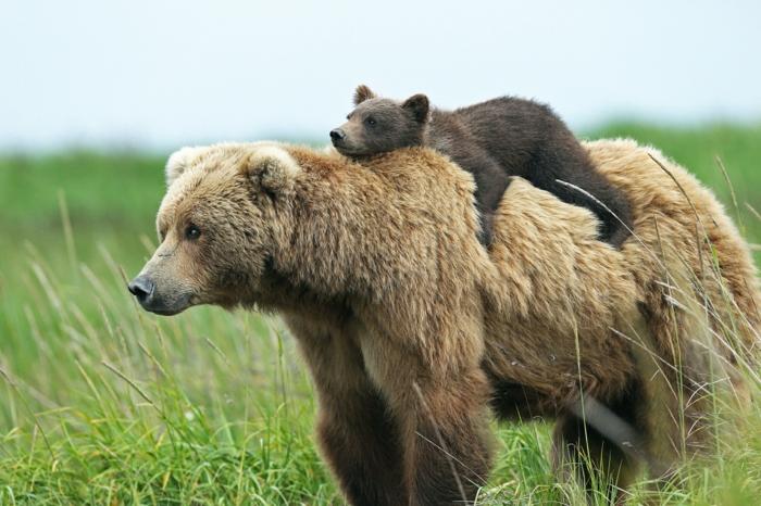 Baby Bär liegt auf seiner Mutter, schöne Bilder von niedlichen Tieren, die Tierwelt näher kennenlernen