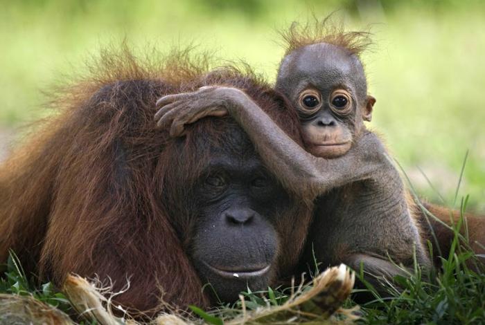 Mutter und Baby Orang-Utans, niedliche Tierbabys mit ihren Eltern, den Tierreich näher kennenlernen