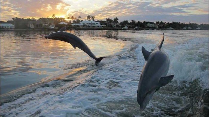 werfen sie einen blick auf dieses bild zum thema delfine im sonnenuntergang - hier sind zwei delfine im sprung, eine sonne, wolken, grüne bäume und palmen