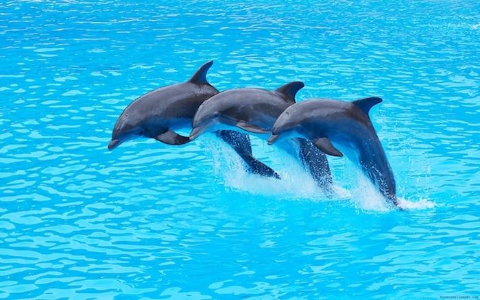 noch ein bild mit drei grauen delfinen im sprung über dem blauen wasser eines großen schwimmpools