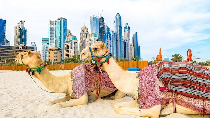 dubai kontinent zwei kamele liegen auf dem strand meeresküste ufer wolkenkratzer im hintergrund