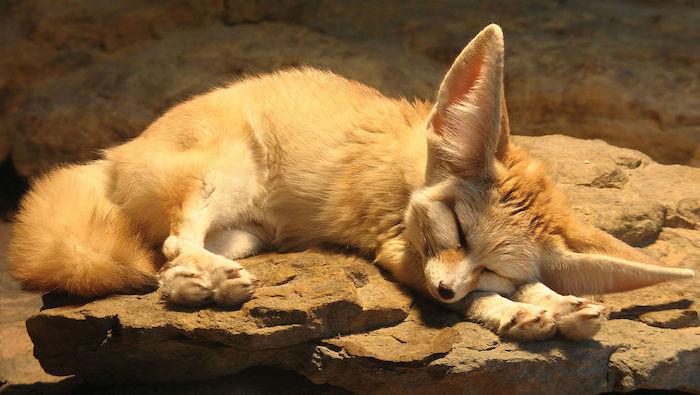 lustige gute nacht bilder - hier ist ein kleiner gelber Fuchs mit einer kleinen schwarzen nase und mit sehr großen ohren - steine und sand