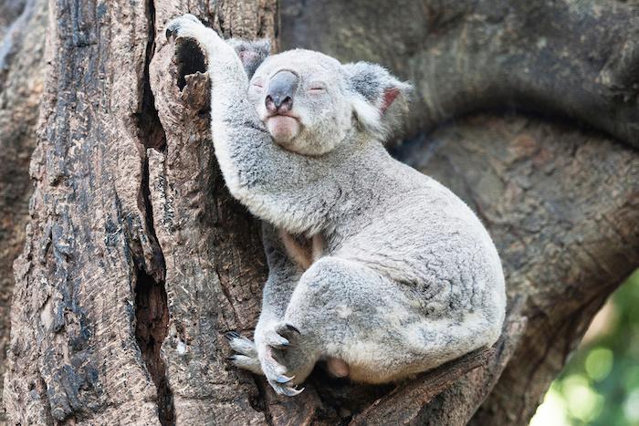 lustige gute nacht bilder - ein grauer kleiner schlafender koala mit einer großen schwarzen nase und ein baum