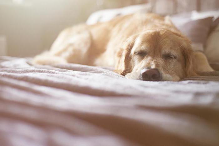 süße gute nacht bilder - hier ist ein bild mit einem gelben goldenen schlafenden hund mit einer schwarzen nase und ein bett