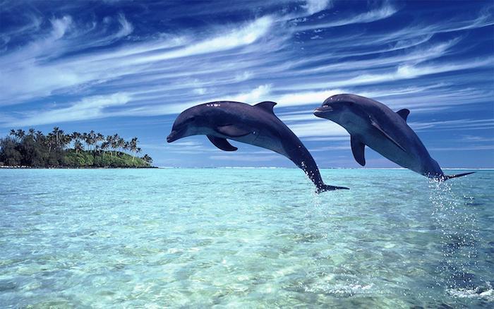 zu1m thema inspirierende delfine bilder - hier finden sie zwei graue große delfine im sprung über dem blauen wasser und insel mit vielen grünen palmen und einen blauen himmel mit weißen wolken