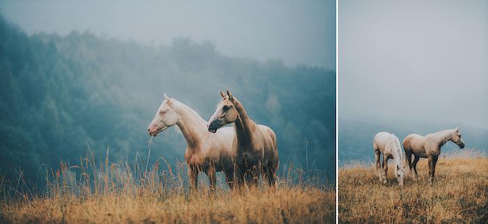 noch zwei tolle pferdebilder mit vier brauenen schönen pferden mit blauen augen und dichten mähnen, bild mit einem gelben grass und einem wald mit grünen bäumen