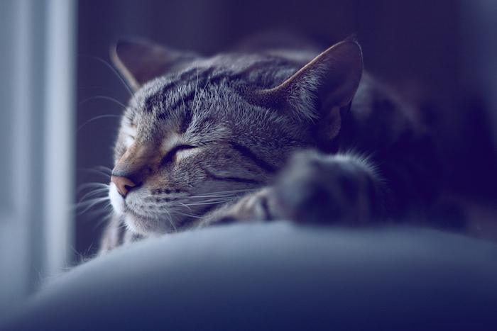 eine schlafende graue katze mit einer pinken kleinen nase - süße gute nacht bilder