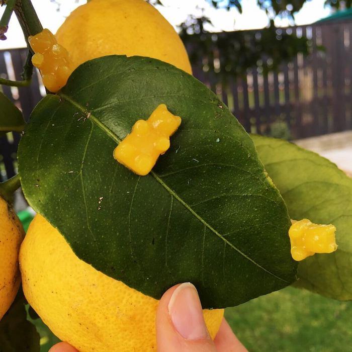 Gummibärchen selber machen in gelber Farbe aus Zitronensaft, dekorieren Zitronenbaum im Garten