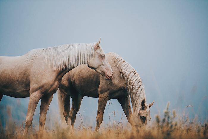 eine unserer ideen zum thema tolle pferdebilder und pferdesprüche - hier sind zwei schöne braune, wilde pferde mut schwarzen und blauen augen und einer weißen dichten mähne