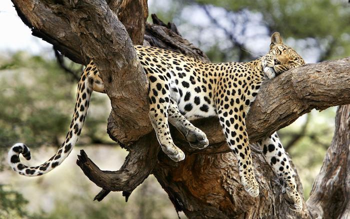 ein großer gelber schlafender leopard und ein baum mit grünen blättern - gute nacht bilder für whatsapp