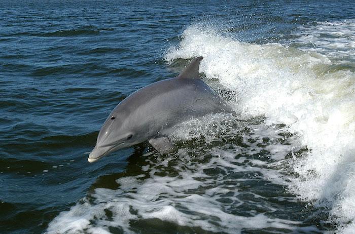 hier finden sie einen grauen delfin im sprung über dem meer mit einem blauen wasser - tolle idee zum thema delfine bilder, die ihnen sehr gut gefallen kann