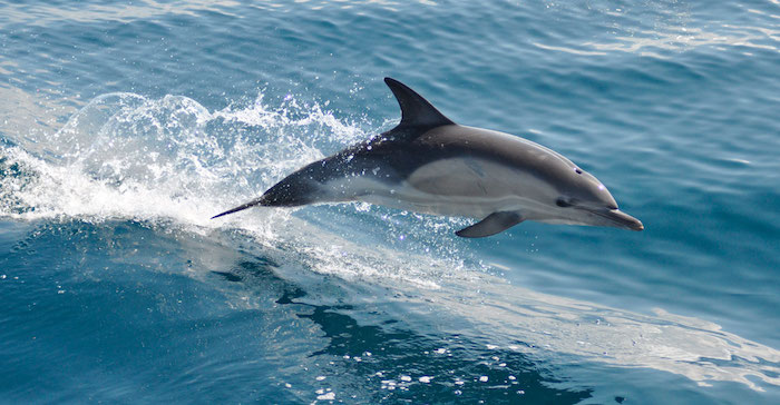 wir empfehlen ihnen, einen blick auf dieses bild zu werfen - hier finden sie einen großen grauen delfin im sprung über dem blauen wasser des meers