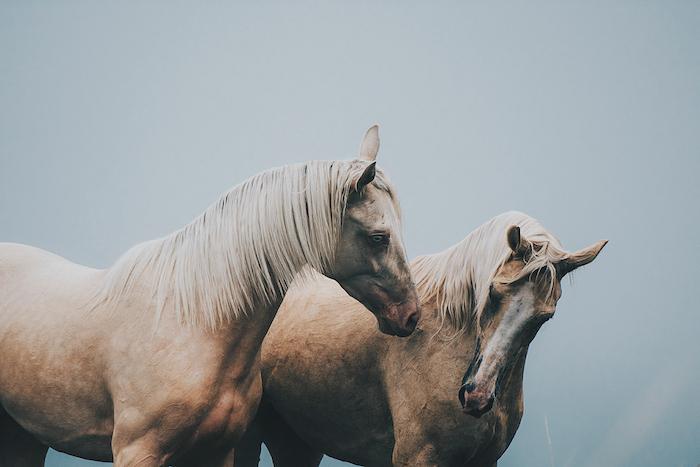 jetzt zeigen wir ihnen ein schönes pferdebild mit zwei wilden braunen pferden mit schwarzen augen, blauen augen und mit weißen, langen, mähnen
