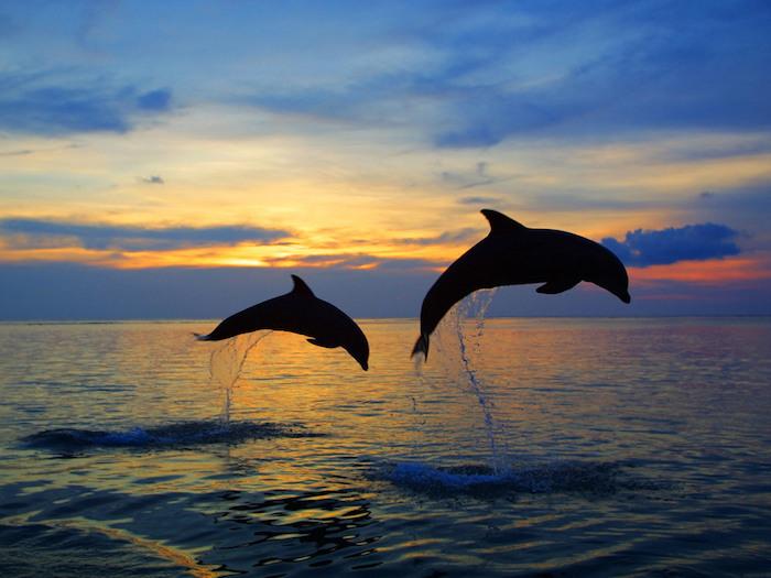 jetzt zeigen wir ihnen zwei schwarze große delfine im sonnenuntergang und im sprung über dem blauen wasser und dem meer