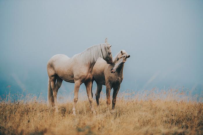 idee zum thema pferdesprüche und pferdebilder - hier finden sie zwei sich küssende braune, wilde pferde mit blauen und schwarzen augen und einem gelben grass