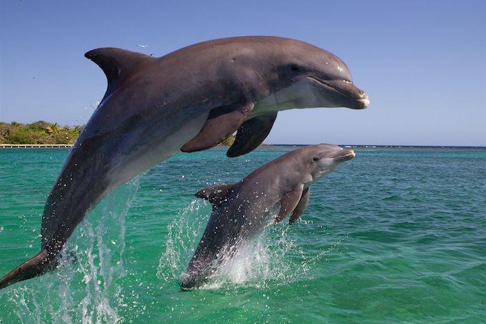 hier ist ein bild mit einem kleinen und einem großen grauen delfin im sprung über einem meer mit einem blauen wasser und einer insel mit palmen mit grünen blättern