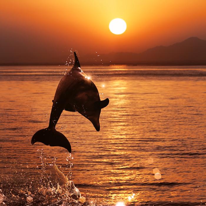 bild zum thema delfine im sonnenuntergang - hier ist ein schwarzer delfin im sprung,eine sonne, meer, sonnenuntergang und eine insel