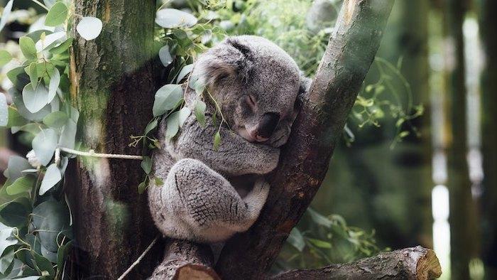 ein kleiner schlafender grauer koala mit einer schwarzen großen nase und ein baum mit grünen blättern