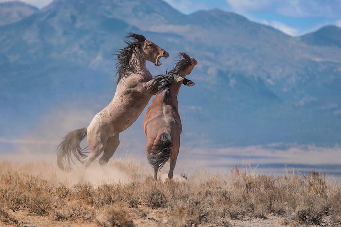 hier sind zwei wilde, braune pferde, pferd mit einem schwarzen schwanz, pferd mit einer langen, dichten und schwarzen mähne, grass und berge, himmel und weiße wolken