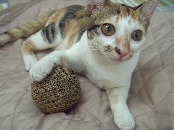 eine bunte Katze spielt mit einem runden Spielzeug - Katzenspielzeug selber machen