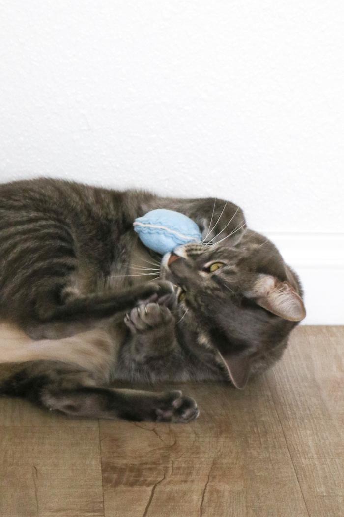 eine niedliche graue Katze die mit einem blauen Spielzeug spielt - Katzenbeschäftigung