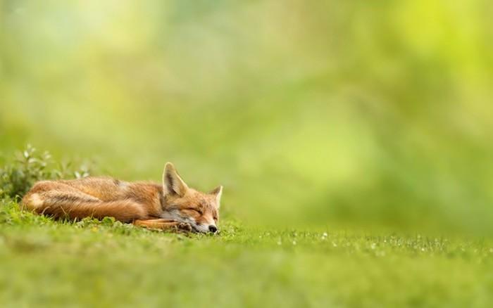 gute nacht bild mit einem schlafenden kleinen orangen fuchs, grüne pflanzen und grass - lustige gute nacht bilder