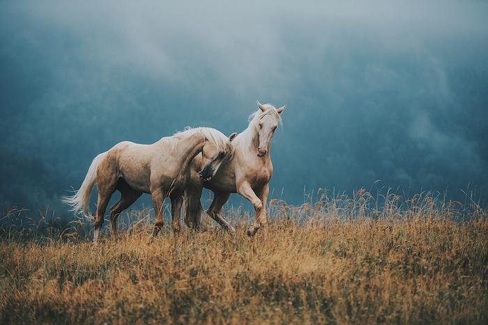 noch ein schönes pferdebild - hier sind zwei braune wilde pferde mit blauen augen, einem weißen schwanz und einer weißen dichten mähne - märchenhaftes bild mit pferden und einem gelben grass