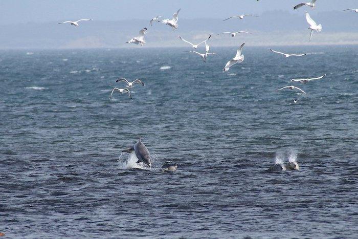 meer mit vielen kleinen delfinen im sprung und vielen fliegenden weißen vögeln - tolle idee zum thema delfine bilder