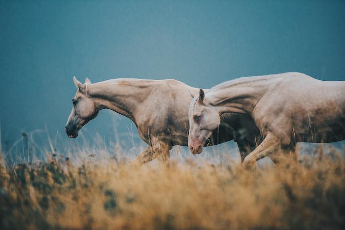 noch ein bild mit zwei wilden, braunen pferden mit einer weißen mähne und schwarzen und blauen augen, grass und wald -zum thema pferdesprüche und pferdebilder