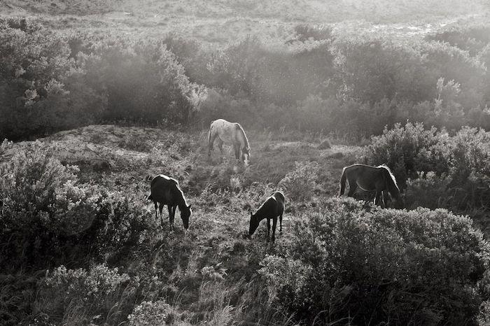 hier finden sie ein bild mit einer wilden herde mit dre schwarzen pferden und mit einem weißes pferd und pflanzen, ein schwarz-weißes pferdebild