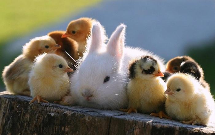 süße gute nacht bilder für whatsapp - hier sind eine kleine weiße hase und kleine gelbe vögel und entlein