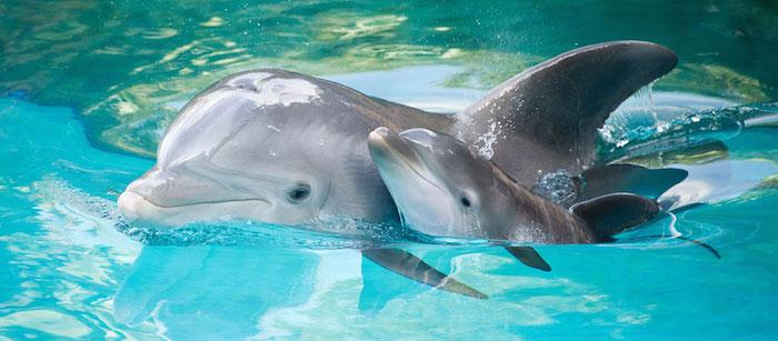 werfen sie einen blick auf dieses süßes bild - hier finden sie einen kleinen und einen großen grauen delfin - sie schwimmen zusammen in einem schwimmpool mit einem klaren, sauberen, blauen wasser