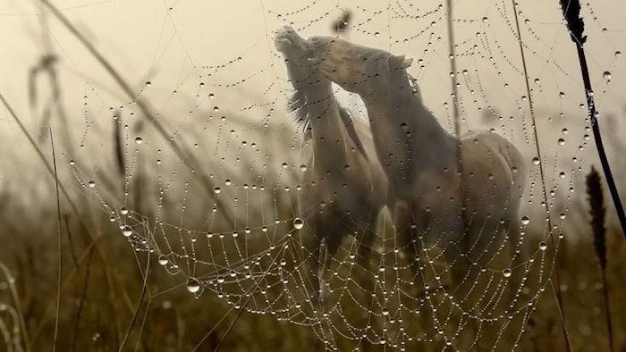 hier ist ein bild mit grass und einem spinnennetz, zwei braune wilde pferde mit einer schwarzen mähne, pferdesprüche und ein pferdebild