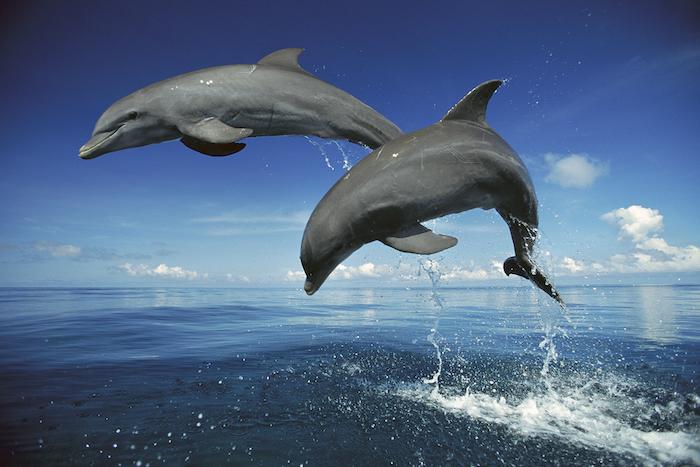 hier sind zwei graue delfine im sprung über dem meer mit einem blauen wasser - bild mit delfinen und mit einem blauen himmel und weißen wolken