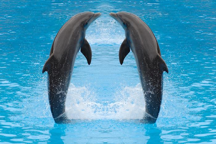 hier finden sie ein bild mit zwei grauen delfinen in einem pool mit einem klaren blauen wasser, die sich küssen