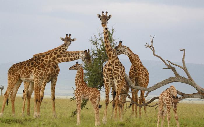 sansibar urlaub safari in afrika unternehmen afrike tierarten tiere giraffen girafe essen baum blätter schöne edle tiere