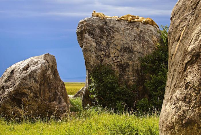 sansibar reisebericht zwei löwen liegen auf einem stein schöne natur von afrika steine grüne bepflanzung