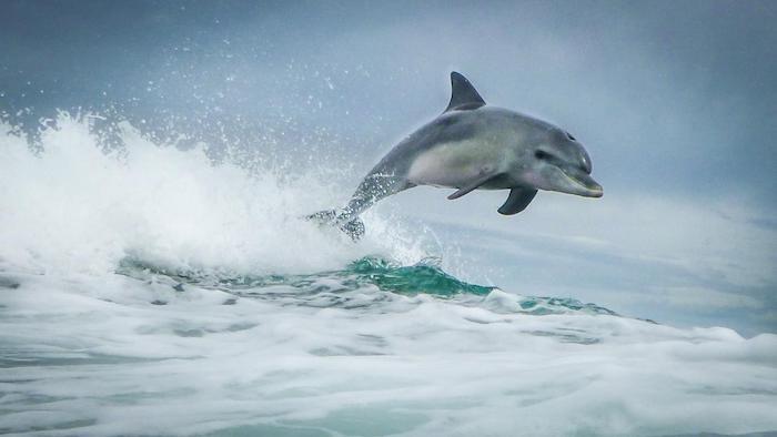 das ist ein bild mit einem grauen delfin im sprung über wellen und meer mit einem blauen wasser - zum thema delfine schwimmen
