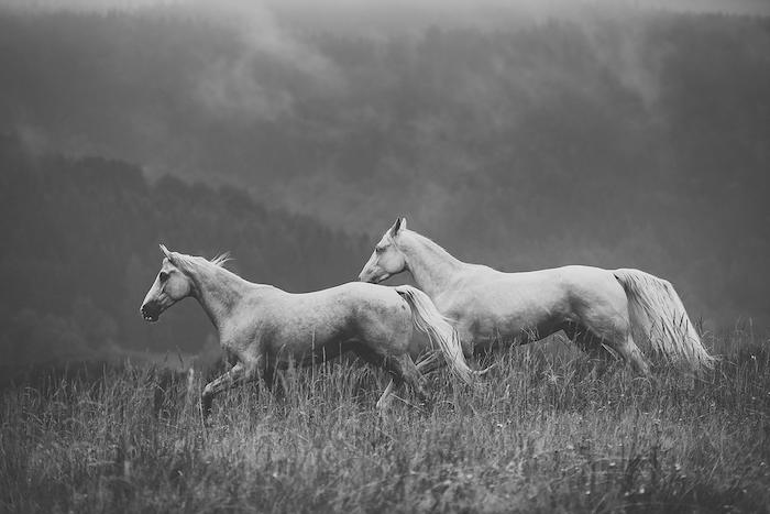tolle pferdesprüche und pferdebilder - hier sind zwei weiße, wilde, laufende pferde mit einer weißen dichten mähne und mit schwarzen augen, grass und wald mit schwarzen bäumen
