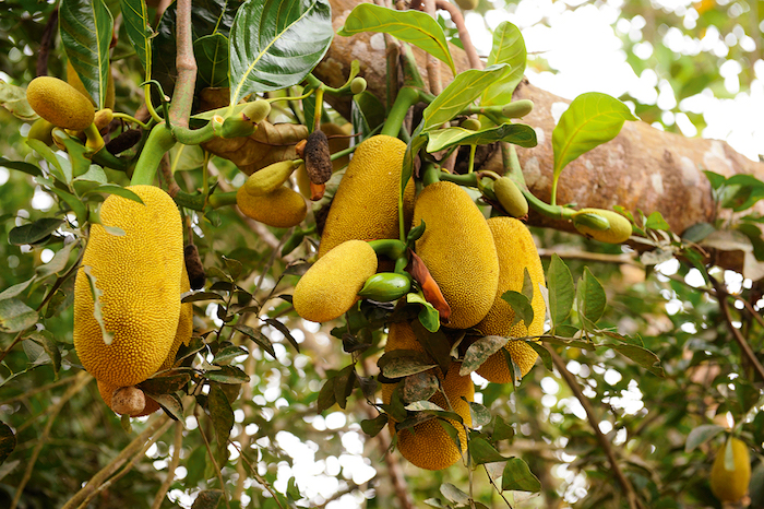 sansibar stadt erleben gelbe früchte direkt vom baum nehmen exotische pflanzen frisches essen gesund lecker schön