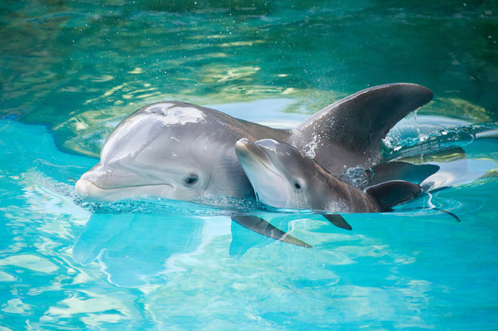 wir empfehlen ihnen, einen blick auf dieses bild zu werfen - hier ist ein großer und ein kleiner grauer delfin - sie schwimmen zusammen in einem pool mit einem klaren wasser