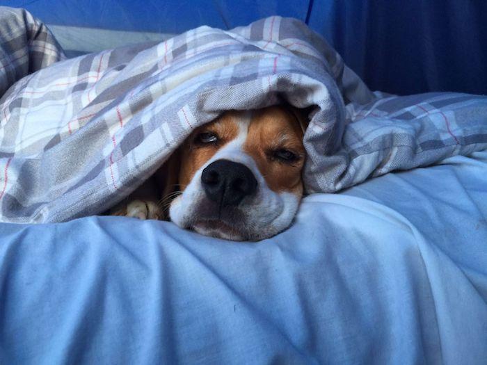 ein Hund schläft unter einer blauen Decke auf einem blauen Bettlaken - süße Bilder